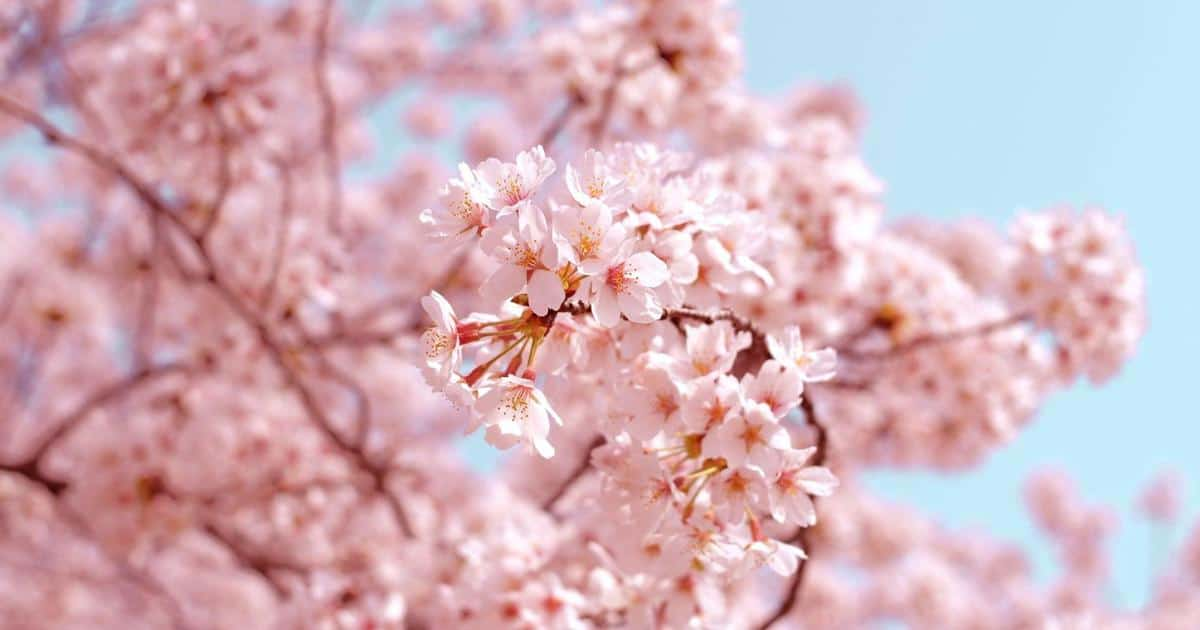 a close up image of cherry blossoms